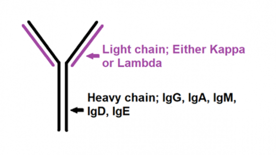 A sketch of immunoglobulin consisting of a heavy chain and a light chain.